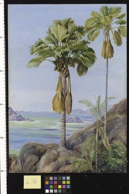 Male and Female Trees of the Coco de Mer in Praslin