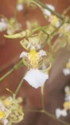 Miltonia phymatochila