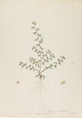 Indigofera enneaphylla Willd., watercolour on paper