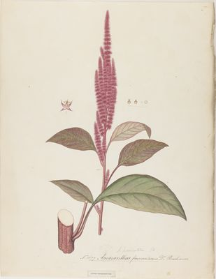 Amaranthus frumentaceus Buchanan., watercolour on paper