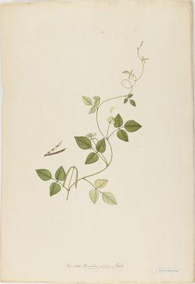 Phaseolus minimus Roxb., watercolour on paper