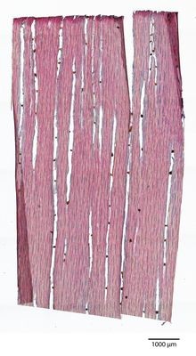 A specimen from Kew's microscope slide collection - tangential longitudinal section of wood. Image ref: KMIC000139_2016_05_27-S2