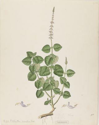 Plectranthus aromaticus Roxb., watercolour on paper