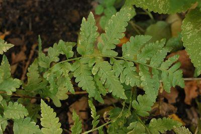 Dryopteris goldieana