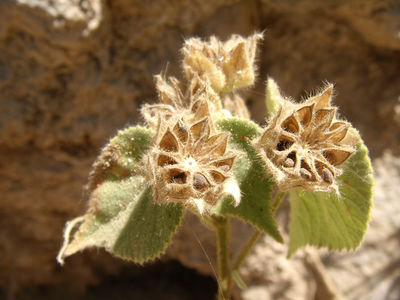 Abutilon aff. grandifolium (Willd.) Sweet