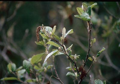 Alnus acuminata Kunth