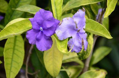 Brunfelsia pauciflora 'Calycina'