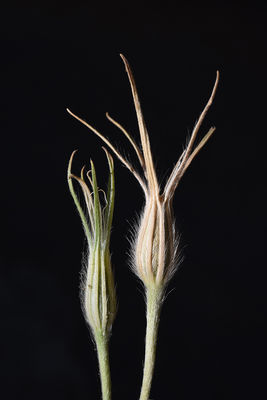 Agrostemma brachylobum