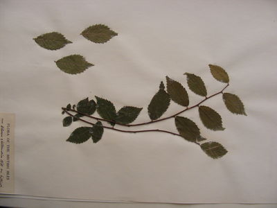 Ulmus × hollandica 'Hillieri'