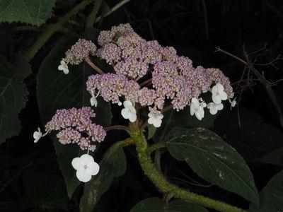 Hydrangea sargentiana