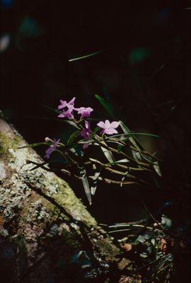 Orchidaceae Juss.