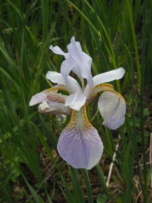Iris sibirica 'Albida'