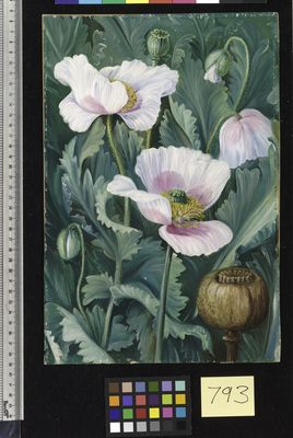 Foliage, Flowers, and Seed-vessel of the Opium Poppy