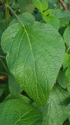 Salvia 'Purple Majesty'