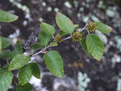 Betula chinensis