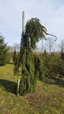Picea abies 'Pendula Major'