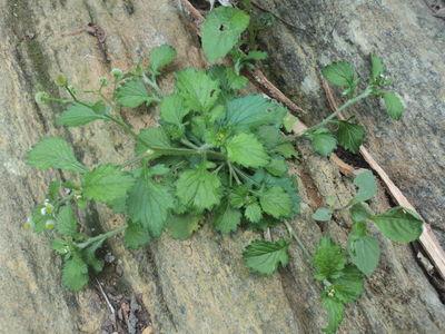 Dichrocephala integrifolia