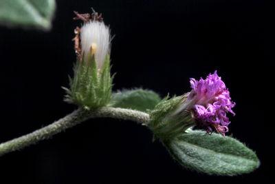 Lepidaploa salzmannii