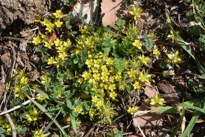 Ranunculus falcatus
