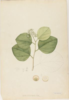 Cordia latifolia R., watercolour on paper