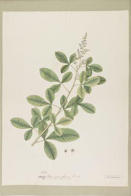 Rhus parviflorum R., watercolour on paper