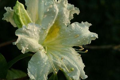 Rhododendron scopulorum