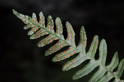 Polypodium sibiricum