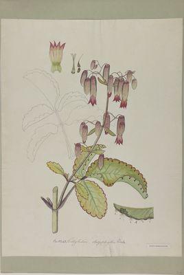 Cotyledon rhizophylla R., watercolour on paper