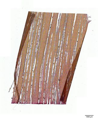 A specimen from Kew's microscope slide collection - tangential longitudinal section of wood. Image ref: KMIC000140_2016.05.12-S3