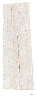 A specimen from Kew's microscope slide collection - tangential longitudinal section of wood. Image ref: KMIC000779_2016.10.28-S2