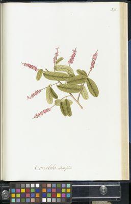 Coccoloba obtusifolia