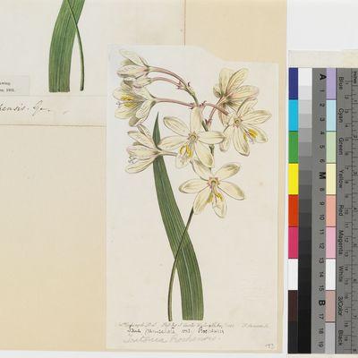 Tritonia rochensis Ker Gawl. published illustration from Curtis's Botanical Magazine