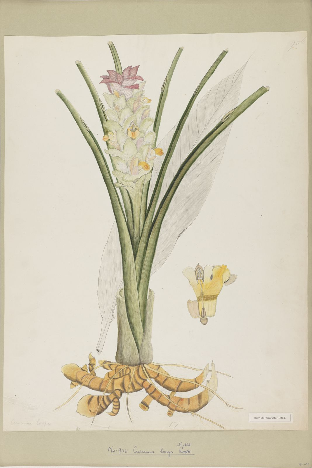 Curcuma longa L   Plants of the World Online   Kew Science