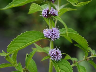 Mentha canadensis