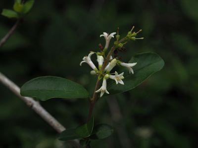 Ligustrum obtusifolium subsp. suave