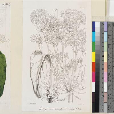 Eriogonum compositum Douglas ex Benth., Curtis's Botanical Magazine