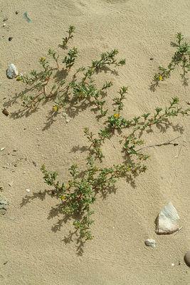 Ononis variegata