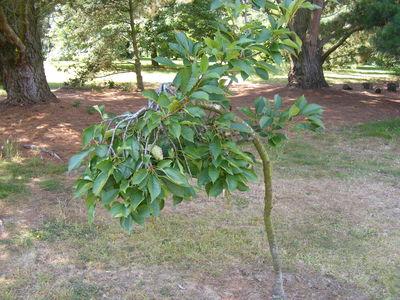 Prunus avium 'Pendula'
