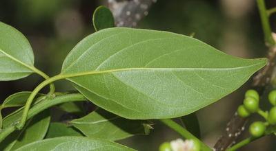 Cordia oblongifolia