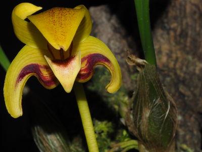 Bulbophyllum dearei