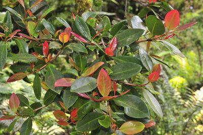 Garcinia gummi-gutta