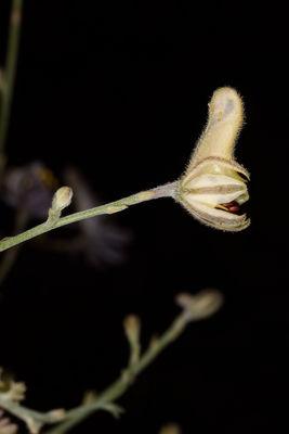 Delphinium sclerocladum