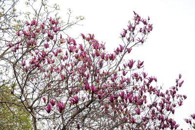 Magnolia liliiflora