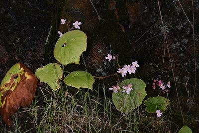 Begonia josephi