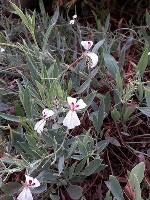 Pelargonium lanceolatum