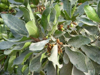 Pouteria lucuma(Ruiz & Pav.) Kuntze