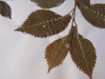 Ulmus × hollandica 'Smithii'
