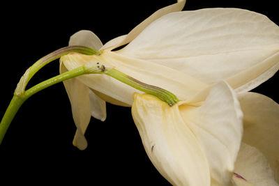 Dendrobium albosanguineum Lindl.
