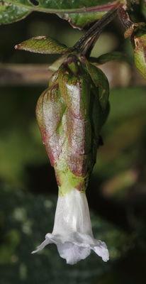 Strobilanthes lupulina