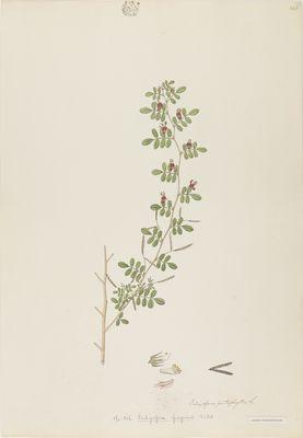 Indigofera fragrans Willd., watercolour on paper